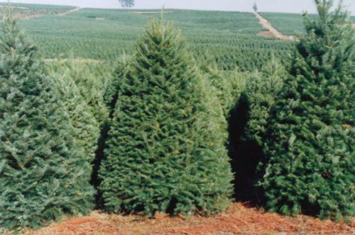 Revisa Profepa rboles de navidad naturales importados de Estados ...