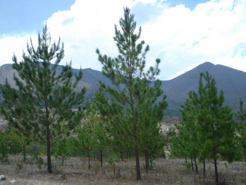 En el Altiplano Tamaulipeco, todos plantando un árbol