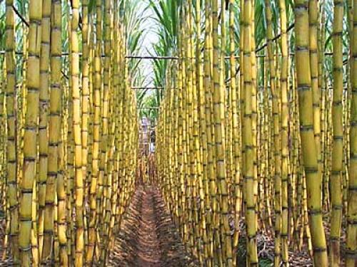 Cultivarán caña de azúcar en secundaria