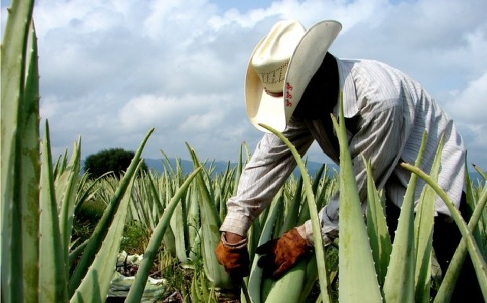 Desarrollo Rural propone sembrar sábila en lugar de otros cultivos