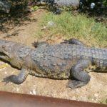 Harán censo de cocodrilos de la laguna del Carpintero