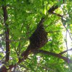 Hasta 45 panales de abejas son reportados al mes